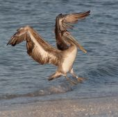 Pelican landing on the beach