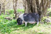 Dark Spotted Pig In The Forest Among The Trees
