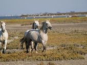 Galloping White Horses With Flamingos In The Back In Parc Regional De Camargue, Provence, France - I