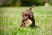 stock photo of labradors  - brown labrador retriever puppy playing outdoors in summer - JPG