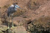 A Pale Western Reef Heron Standing On Rocks Above The Tide Line