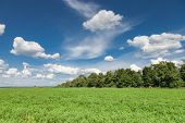 stock photo of alfalfa  - Green alfalfa field under a blue sky with white clouds - JPG