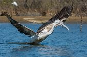 Pink-backed Pelican Lunging With Its Wings Spread