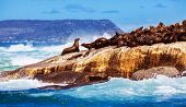 Wild South African seals, many cute sea lions lying down on the rock and bask in the sun, beautiful