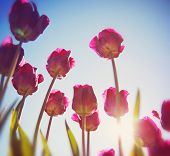 pretty red and pink tulips shot from underneath during sunset at a wide angle and a soft instagram l