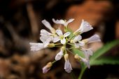 Five-parted Toothwort - Cardamine concatenate
