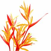 foto of heliconia  - Tropical red and orange Heliconia flower - JPG