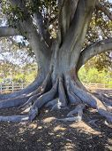 Moreton Bay Fig Tree; close up