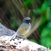 Male Rufous-gorgeted Flycatcher