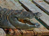 Постер, плакат: Gator улыбка