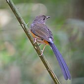 Female White-rumped Shama