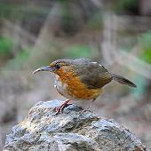 stock photo of babbler  - Brown bird - JPG