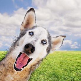 picture of spayed  - a funny husky on a bright background in a park or backyard - JPG