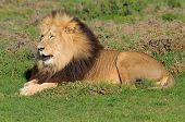 Kalahari Lion, Panthera Leo, In The Addo Elephant National Park