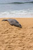 The seal sleeping on the sand, Hawaii