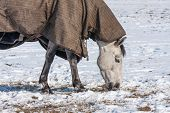 Horse with blanket grazing in a snowy pasture