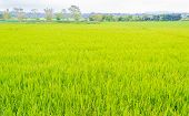 Image Of Rice Field And Sky