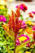 image of cockscomb  - Cockscomb flower in the garden of thailand - JPG