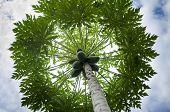 Papaya tree, loaded papaya