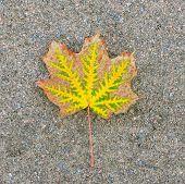 The Fallen-down Autumn Leaf Against Gravel.