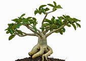 Desert Rose Or Ping Bignonia Tree