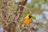 Southern Masked Weaver - African Wild Bird Background - Thorny Peace