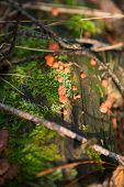 Orange Fungus On Old Wood In Forest