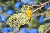Golden Masked Weaver - African Wild Bird Background - Pride of Home