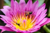 little bee on pink lotus