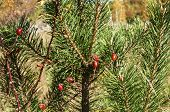 Rosehips by pine branches