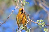Golden Masked Weaver - African Wild Bird Background - Hiding Beauty