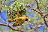 Golden Masked Weaver - African Wild Bird Background - Nest Hanger