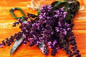blooming bunches of herbs and spices Basil