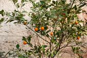 picture of tangerine-tree  - Tangerine tree with fruit on a background of a wall made  - JPG