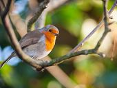 picture of red robin  - red robin bird perched on a tree branch - JPG