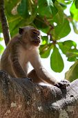 Macaque On A Tree