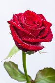 Beautiful Red Rose With Stem And Leaves