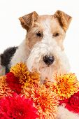 Wire fox terrier and a bouquet of dahlias.