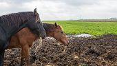 Two Brown Horses Eating Hay