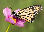 Closeup of a migrating Monarch butterfly feeding on a pink Cosmos flower