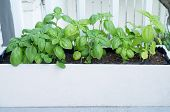 Planting Basil Herb In Wooden Container