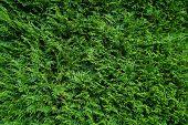 Conifer (Coniferae) tree background - Green Cypress