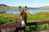 Donkey in a field Connemara