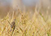 Paddyfield Pipit - Anthus Novacseelandiae