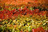 Hedge Of Red Leaves