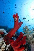 red natural sponge