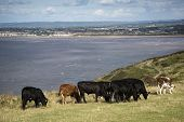 Landscape Image Of Cows With Weston-super-mare In Distant Background