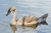 Gray Baby Swan On Water