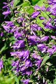 Giant Bellflower (campanula Latifolia) Against Green Background