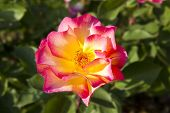 Pink and yellow rose